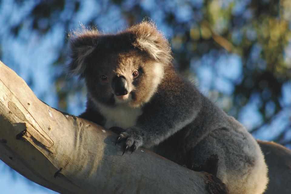 Bimbi Park Koala on branch